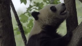 Panda getting comfortable in a tree. View of a Panda getting comfortable in a tree stock footage
