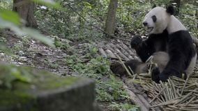 Panda sitting in the woods gnawing on bamboo. View of a Panda sitting in the woods gnawing on bamboo stock footage