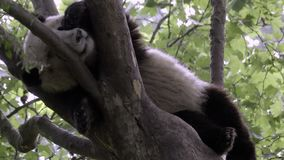 Panda sleeps in a tree on a hot day. View of a Panda sleeping in a tree on a hot day stock video footage