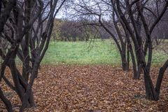 Autumn landscape park. View in a park between bare trees with fallen leaves on the ground, to an open area of green grass beyond Royalty Free Stock Photos