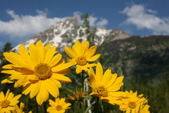 View from the Parking Lot. View of the Grand Tetons from a parking lot in the park.  Yellow flowers in the foreground and Grand Teton in the background Royalty Free Stock Photo