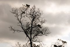 TREE SILHOUETTE WITH FOLIAGE CLUSTERS AGAINST GREY SKY. View of a a partially bare tree with clusters of leaves against a grey sky in winter stock images
