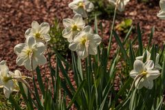 View of pastel yellow narcissus flower in the spring time garden. Photography of lively Nature stock photography