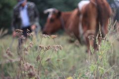 View of the pasture with a farmer and a cow in the background out of focus. Concept of: breeding, love for animals, tradition royalty free stock photo