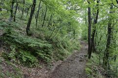 View of a path through a lush green summer forest Royalty Free Stock Image