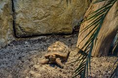 View of patience Tortoise crawling in the nature. Sofia, Bulgaria royalty free stock photography