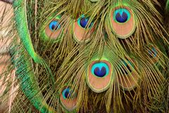 Peacock feathers that look like a face royalty free stock images