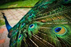 Peacock tail feathers on dispaly stock images