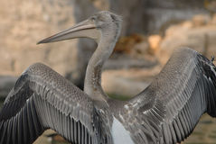 A view of pelican's back. When a pelican stretch its wings, you can enjoy its beautiful plumes Royalty Free Stock Photo