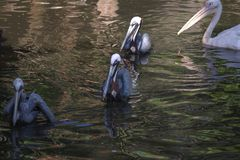 View of pelicans swimming in line, Cape Town stock image