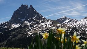 View of Pic du Midi Ossau with daffodils in springtime, french Pyrenees stock footage
