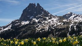 View of Pic du Midi Ossau with daffodils in springtime, french Pyrenees