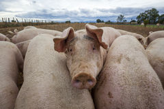 View of pigs outdoors Royalty Free Stock Photo