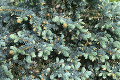 The view of pine branch with young green cones in summer sun, Mountain pine. Royalty Free Stock Photo