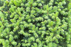 The view of pine branch with young green cones in summer sun, Mountain pine. Royalty Free Stock Photos