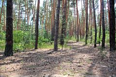 View of the pine forest on a b right sunny day. Nature of Ukraine. royalty free stock photo