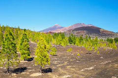 View of pine forest on lava rocks in Tenerife, Spain Royalty Free Stock Images