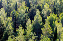View of a pine forest Stock Image