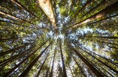 View of pine forest upward. Bright summer pine forest head-up view Stock Photo
