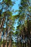 View of a Pine Plantation Stock Photos