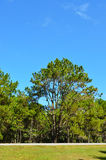 View of a Pine Plantation Stock Images