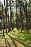 View of a Pine Plantation Stock Photo