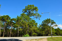 View of a Pine Plantation Royalty Free Stock Image