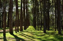 View of a Pine Plantation Royalty Free Stock Images