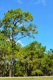 View of a Pine Plantation Royalty Free Stock Photography