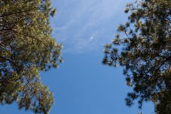 View of pine tree with blue sky background Stock Photography