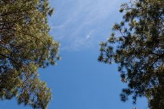 View of pine tree with blue sky and cloud background, looking up view Royalty Free Stock Photo