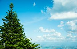 The view of a pine tree among the blue sky with the white clound at the picture`s right side. I recommend that it will be the nice background that make people Stock Photos