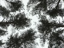 Pine tree tops Stock Photography