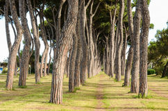 View of pine-tree trunks, Pineto Stock Images