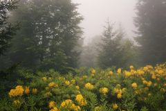 View of pine trees, mountain roses in fog Stock Images