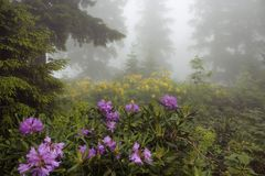 View of pine trees, mountain roses in fog royalty free stock image