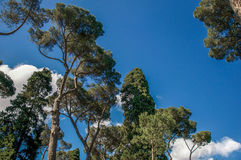 View of pine treetops in the Villa Borghese park on a sunny day in Rome. View of pine treetops in the Villa Borghese park on a sunny day in Rome, the incredible Royalty Free Stock Image