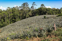 A view of the pineapple plantation Stock Photo