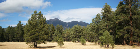 A View Through the Pines. A View of the San Francisco Peaks Through the Ponderosa Pines Royalty Free Stock Photo