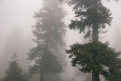 View of pines trees in fog. Stock Photography