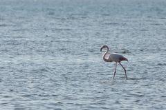 View of pink flamingo bird in Evros, Greece. Royalty Free Stock Image