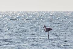View of pink flamingo bird in Evros, Greece. Royalty Free Stock Photo