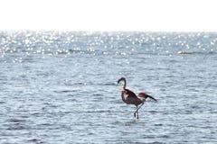 View of pink flamingo bird in Evros, Greece. Stock Photo