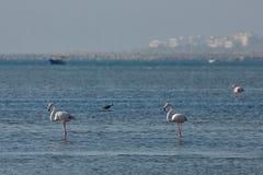 View of pink flamingos birds in Evros, Greece. Stock Photo