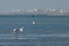 View of pink flamingos birds in Evros, Greece. Royalty Free Stock Images