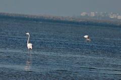 View of pink flamingos birds in Evros, Greece. Royalty Free Stock Photos