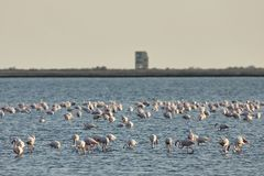 View of pink flamingos birds in Evros river, Greece. Stock Image
