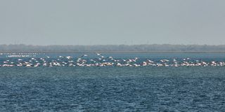 View of pink flamingos birds in Evros river, Greece. Royalty Free Stock Images