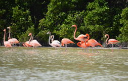 View of pink flamingos Royalty Free Stock Images