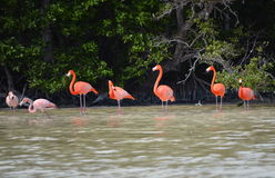 View of pink flamingos Royalty Free Stock Image